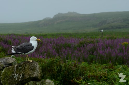 A gull in front of a beautiful backdrop of red campion flowers